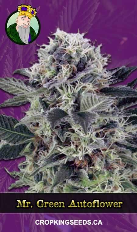 Mr Green Autoflowering Marijuana Seeds