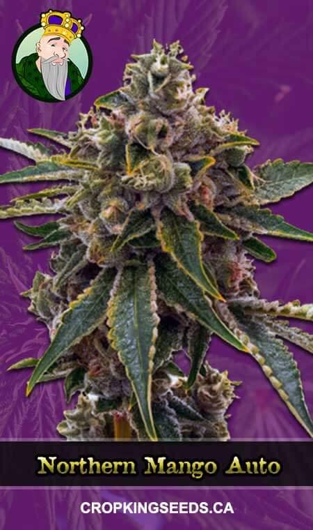 Northern Mango Autoflowering Marijuana Seeds