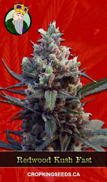 Redwood Kush Fast Version Marijuana Seeds