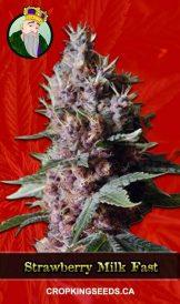 Strawberry Milk Fast Version Marijuana Seeds