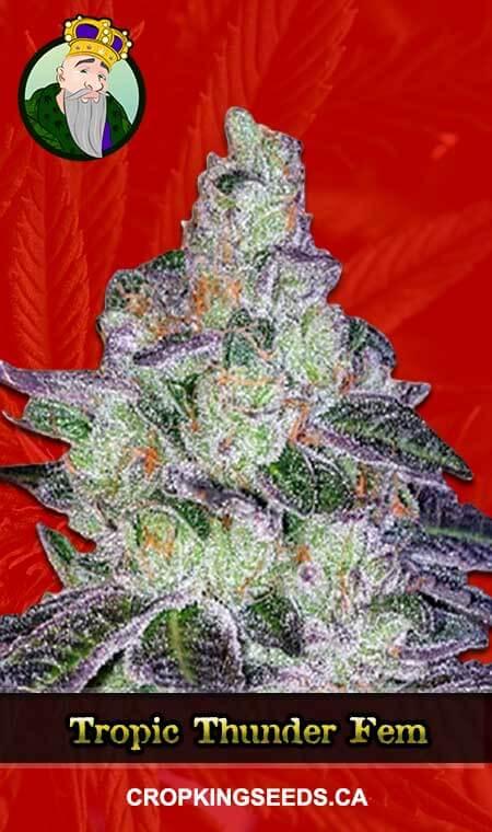 Tropic Thunder Feminized Marijuana Seeds