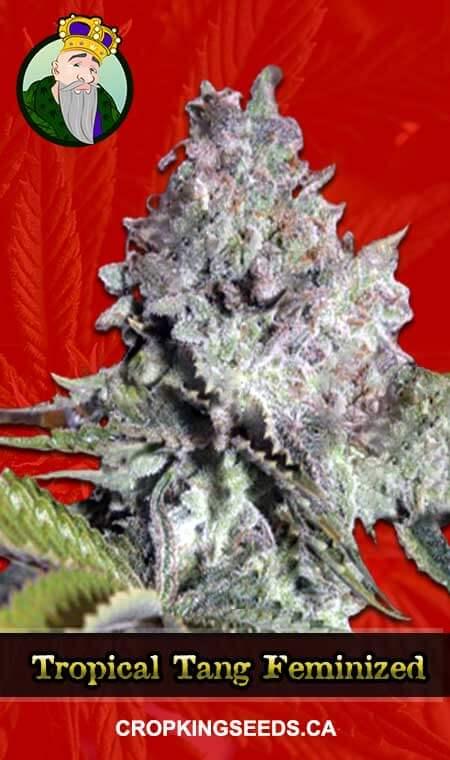 Tropical Tang Feminized Marijuana Seeds