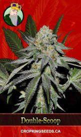 Double-Scoop Feminized Marijuana Seeds