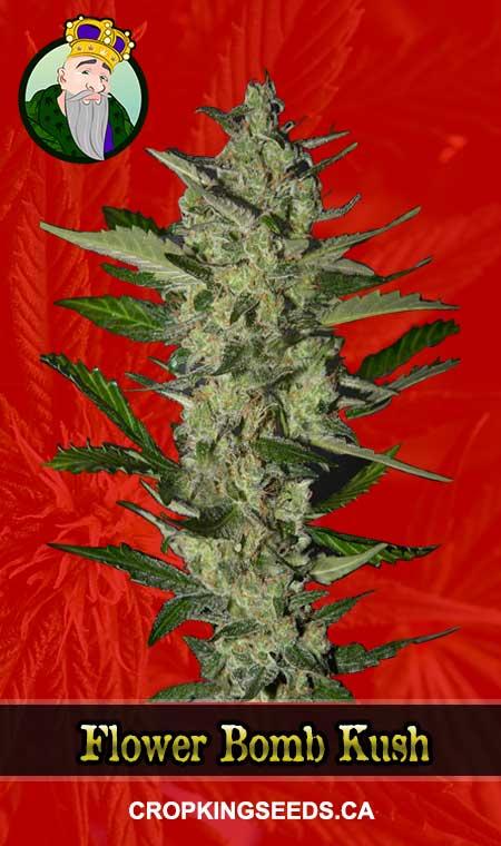 Flower Bomb Kush Feminized Marijuana Seeds