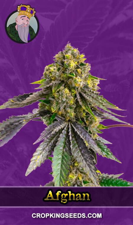 Afghan Autoflower Marijuana Seeds